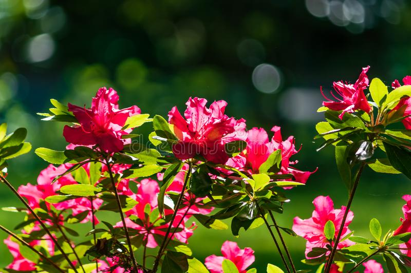 red flowered bush in the sun stock images