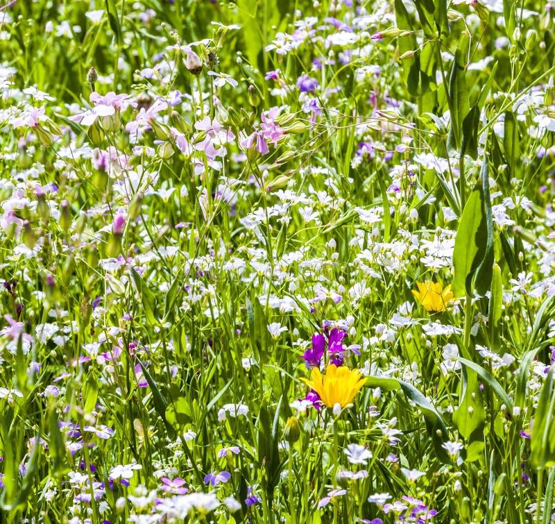 Colorful wildflowers on meadow. Beautiful Colorful wildflowers on meadow in spring stock photography