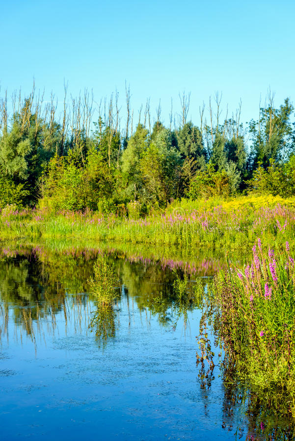 Colorful wildflowers reflected in the water surface of a fen. Purple Loosestrife and other colorful wildflowers reflected in the water surface of a natural pond stock photos