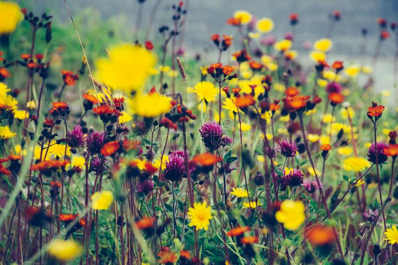Wildflowers in the summer royalty free stock photography