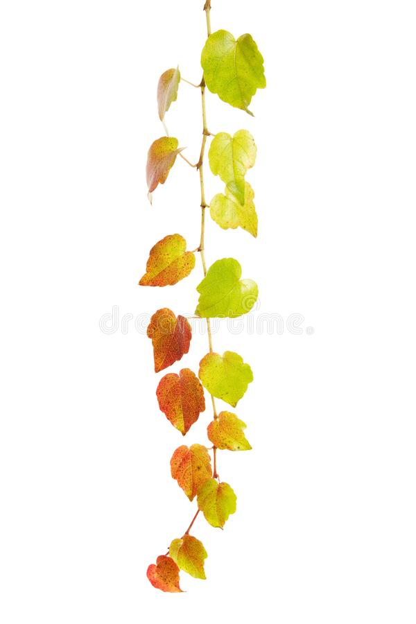 Colorful wine tendril isolated on white background. Autumn, decoration and agriculture concept stock image