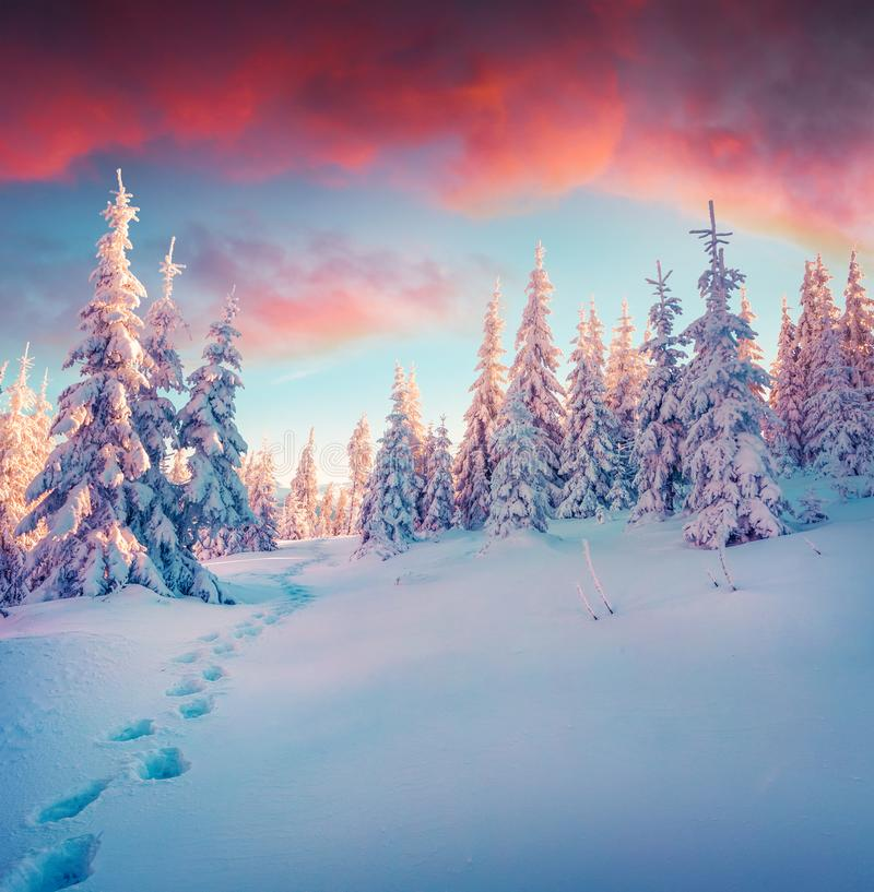 Colorful winter sunrise in mountain forest after heavy snowfall. Captivating outdoor scene, Happy New Year celebration concept. Artistic style post processed stock image