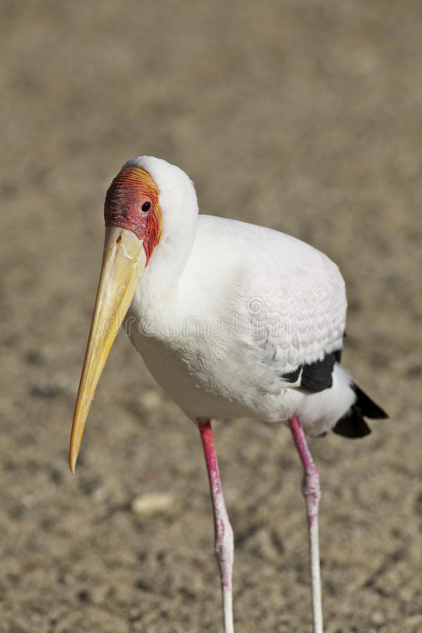 Download Colorful Yellow-billed Stork Stock Photo - Image: 28296242