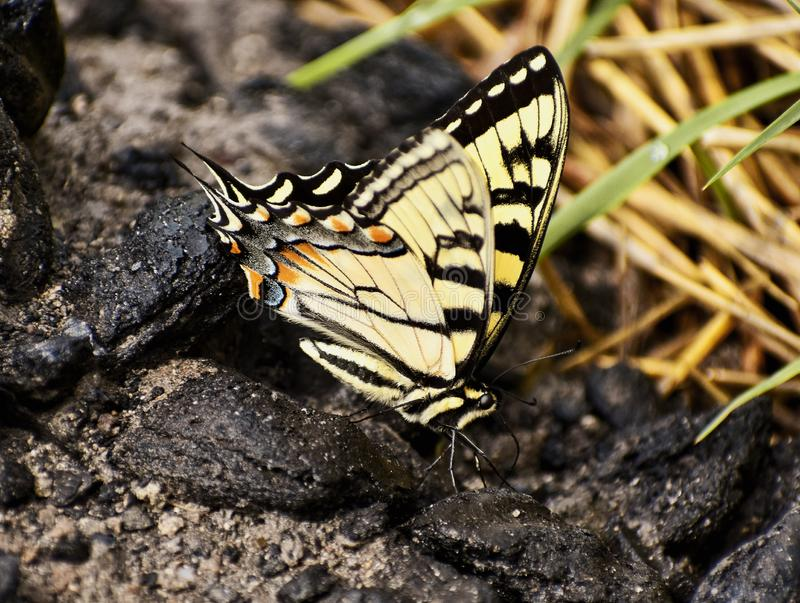 Giant Swallowtail Butterfly Climbing The Rocks. Colorful yellow and black Giant Swallowtail Butterfly exploring the nature climbing the rocks in a park stock photography