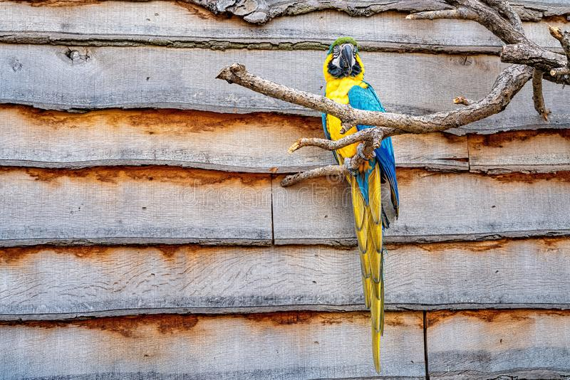 Colorful yellow and blue parrot perched on a branch of a tree royalty free stock photo