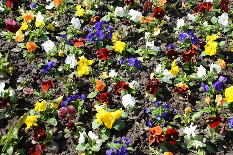 Colorful yellow, blue, white and red vivid pansy flowers in spring. Flowerbed close up. Floral nature pattern background. Colorful yellow, blue, white and red stock images