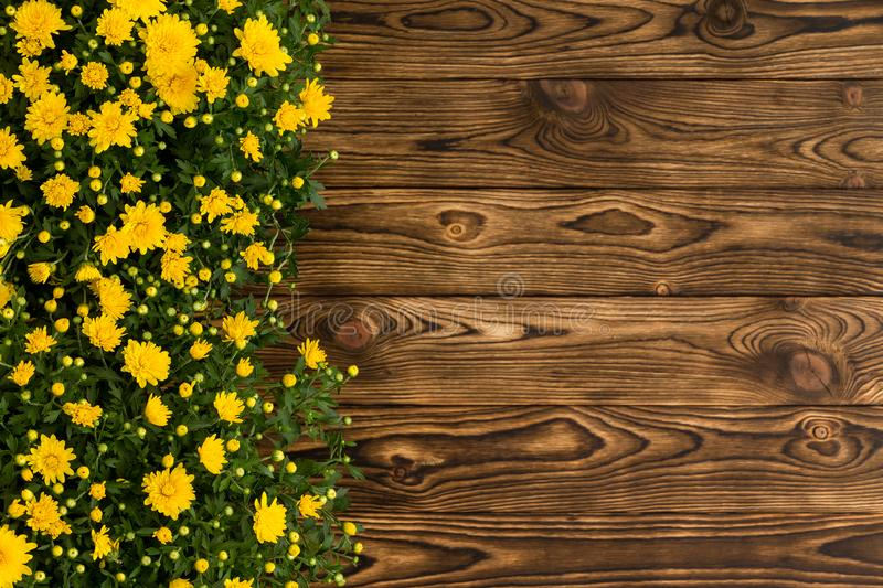 Colorful yellow border of fall chrysanthemums stock photo