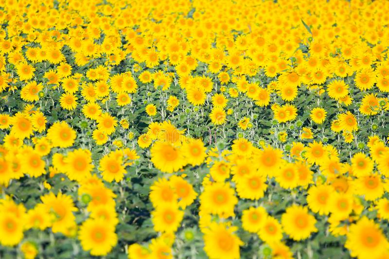 Colorful yellow of field sunflowers with sun shading. Colorful yellow of sunflowers with clear sky background at sunrise located mid of Thailand stock images