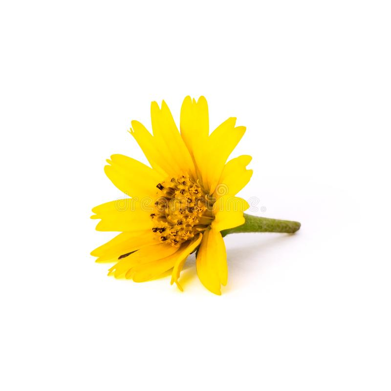Colorful yellow flower isolated on  white background. Beautiful blooming blossom or orange floral for your design.  Clipping stock photography