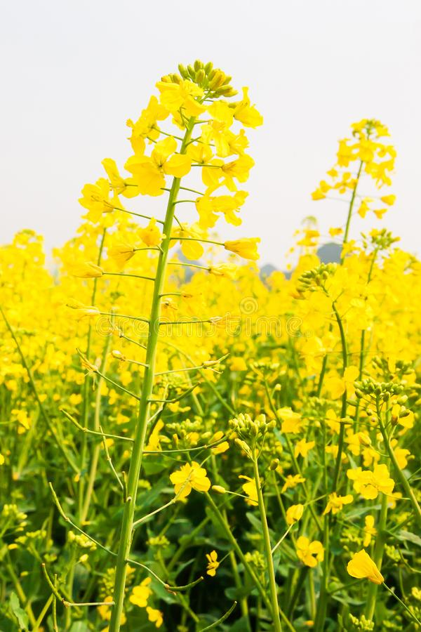 Colorful yellow flowers of mustard plant in full bloom on springtime, top tourist attraction in South China stock image