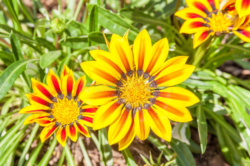 Colorful yellow Gazania in the garden with blurred natural background. stock photo