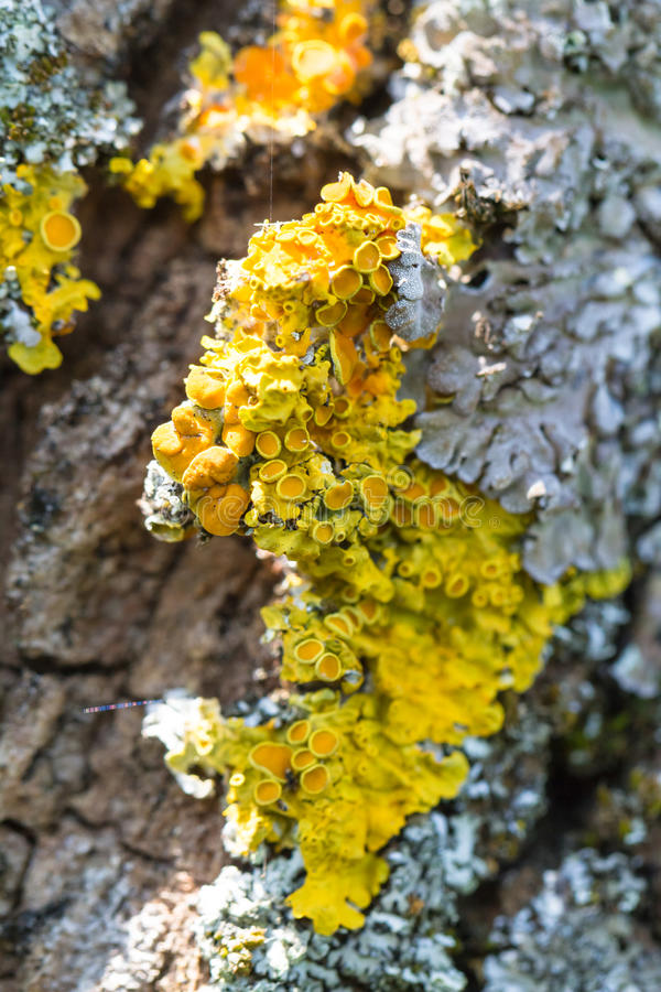 Colorful yellow lichen growing on a tree. Colorful yellow and grey lichen growing on tree bark in sunshine in a full frame nature background royalty free stock image