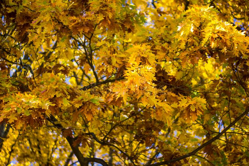 Colorful yellow maple leaves on the tree in autumn. Crown maple on a background of sun rays in autumn. Autumn foliage close-up stock photos