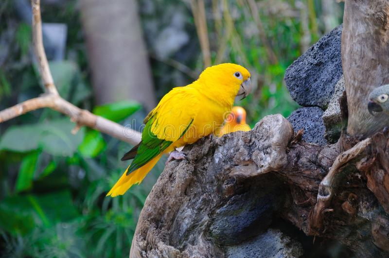 Colorful yellow parrot, Sun Conure Aratinga solstitialis, standing on the branch.  stock photo