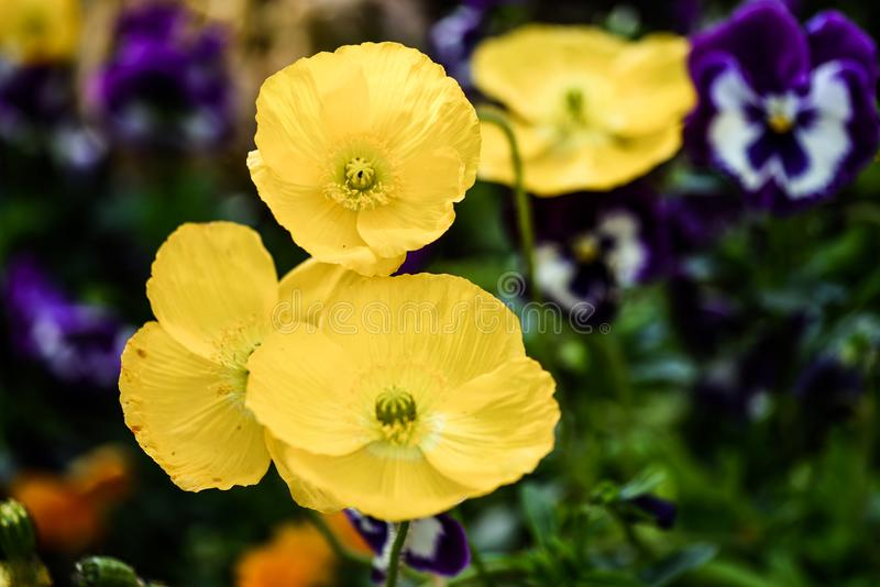 Colorful poppies in a public garden royalty free stock photos