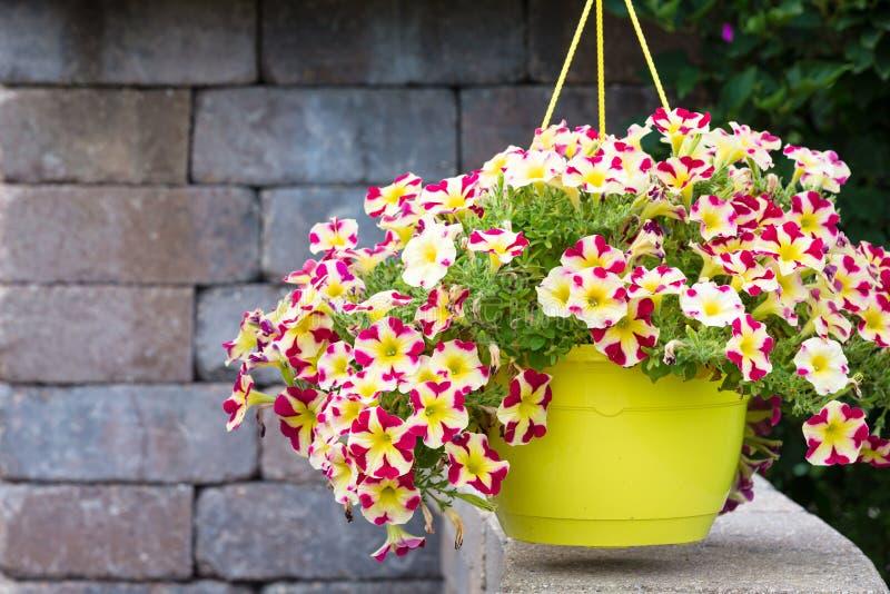Colorful yellow pot of hanging summer petunias royalty free stock image