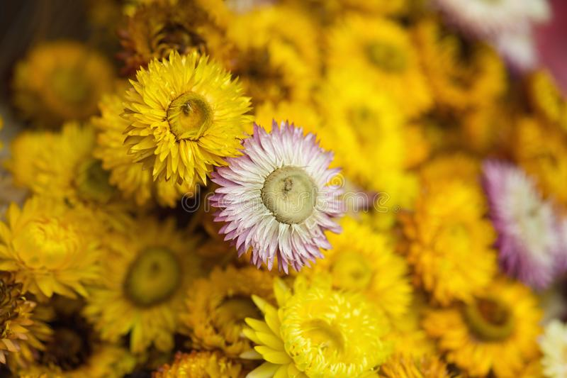 Colorful yellow red daisy blossoming flower background.  stock photo