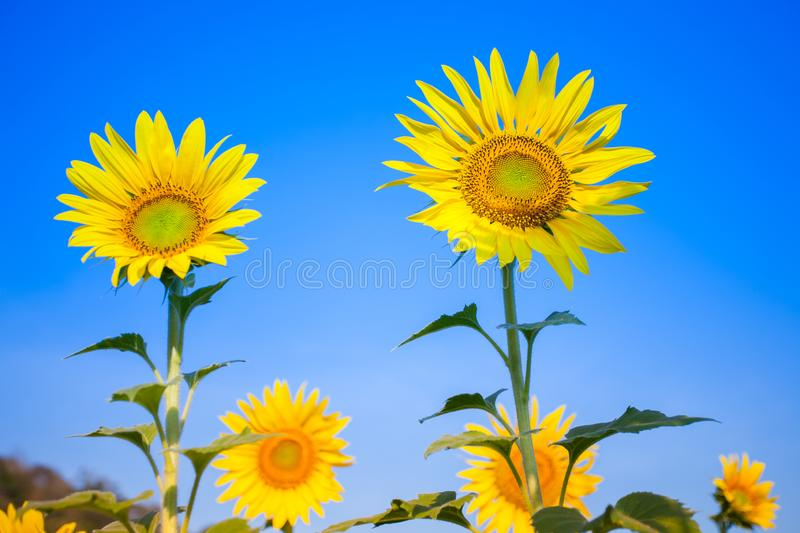 Colorful yellow of sunflowers with clear sky. Background at sunrise located mid of Thailand stock photos