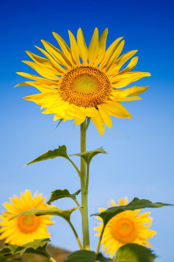 Colorful yellow of sunflowers with clear sky. Background at sunrise located mid of Thailand stock photography