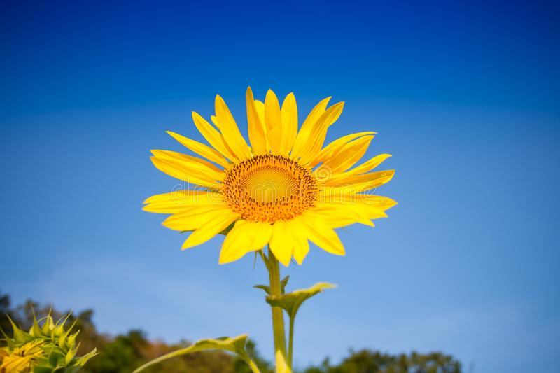 Colorful yellow of sunflowers with clear sky. Background at sunrise located mid of Thailand royalty free stock photos