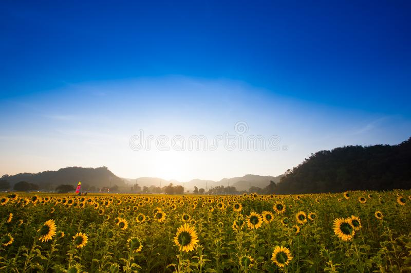 Colorful yellow of sunflowers under clear sky background at sunrise located mid of Thailand. Colorful yellow of field a sunflowers under clear sky background at stock photo