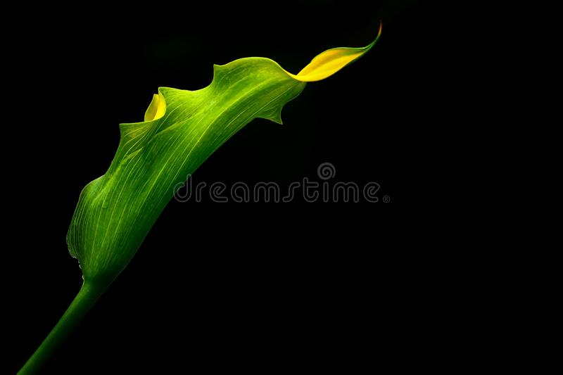 Beautiful tropical yellow calla lily flower stock photo