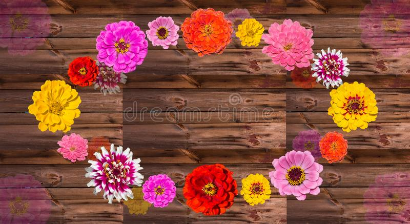 Colorful Zinia blossoms on wood. royalty free stock photography