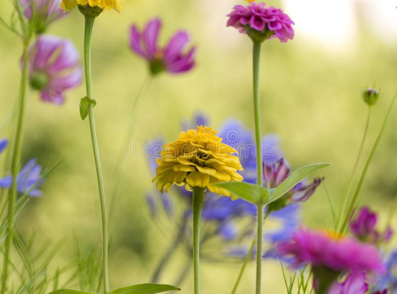 Colorful zinnia blossoms with beautiful blurred bokeh background royalty free stock photos