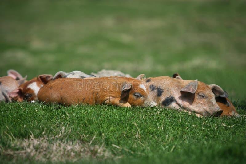Colorfull świnie obraz stock