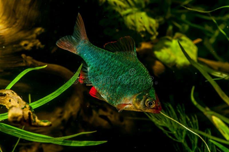Colorfull akvariefisk arkivbild