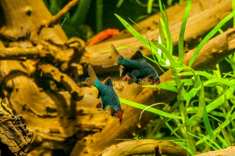 Colorfull-Aquariumfische lizenzfreies stockbild