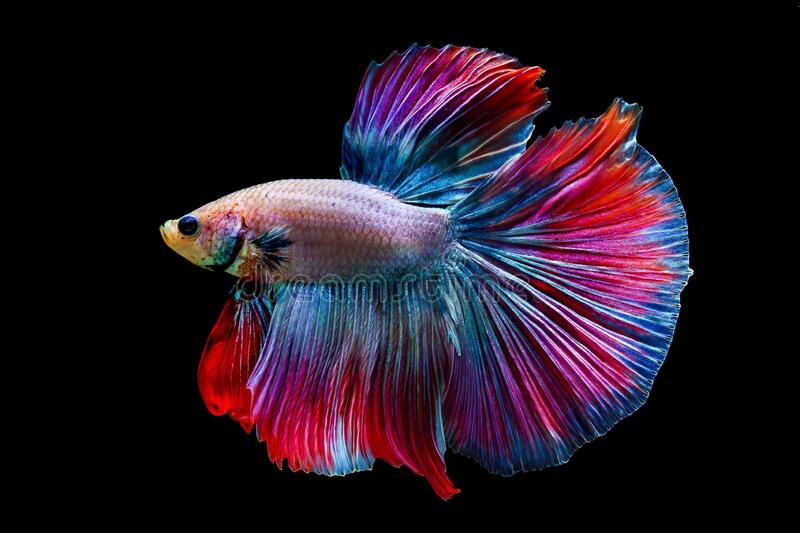 Colorfull Fighting fishBetta fish on black background. Colorfull Fighting fishBetta fish on black background stock photography
