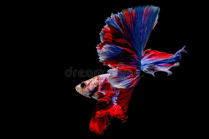 Colorfull Fighting fishBetta fish on black background. Colorfull Fighting fishBetta fish isolated on black background royalty free stock photo
