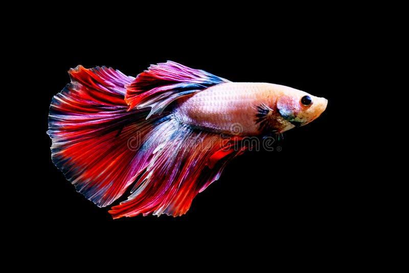 Colorfull Fighting fishBetta fishon black background. Colorfull Fighting fishBetta fishon black background stock photography