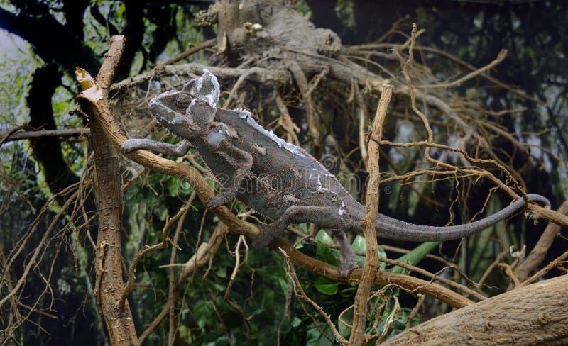 Colorfull lizard camuflage. Beautifull colorfull lizard climb the tree close up stock photos