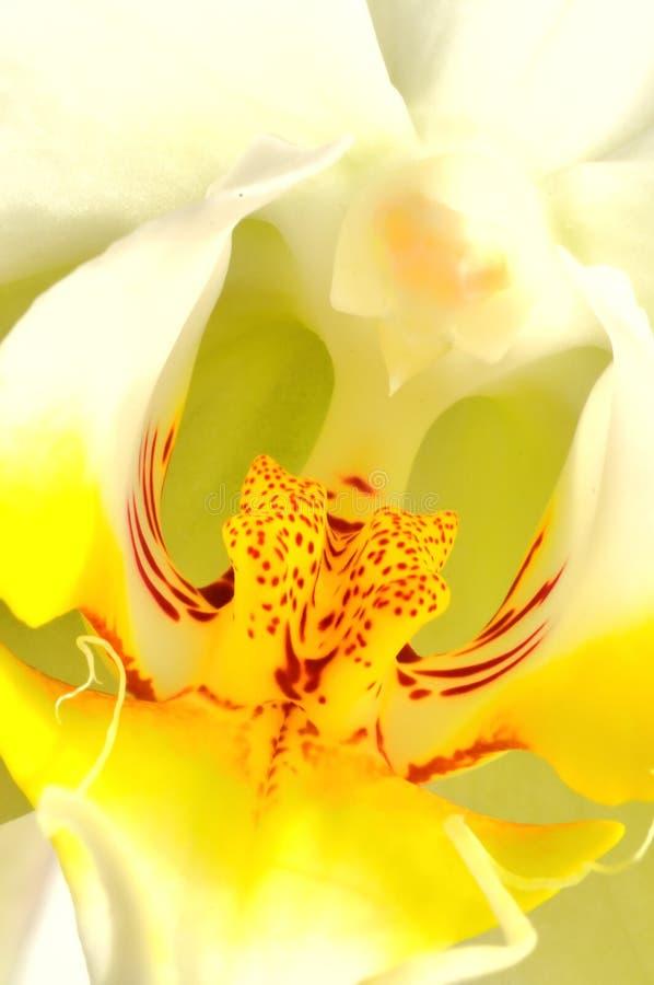 Colorfull Orchideenmakro lizenzfreies stockfoto