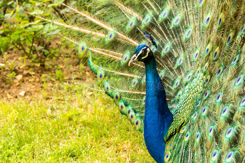 Colorfull Peacock. A male peacock walking in a garden royalty free stock photo