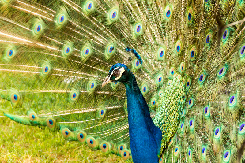 Colorfull Peacock. A male peacock walking in a garden stock images
