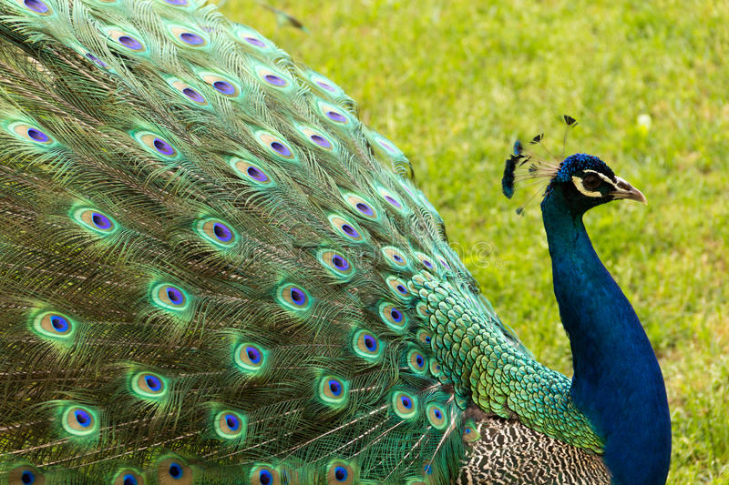 Colorfull Peacock. A male peacock walking in a garden royalty free stock photography