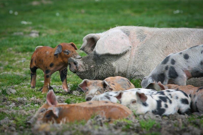 Colorfull pigs royaltyfria foton