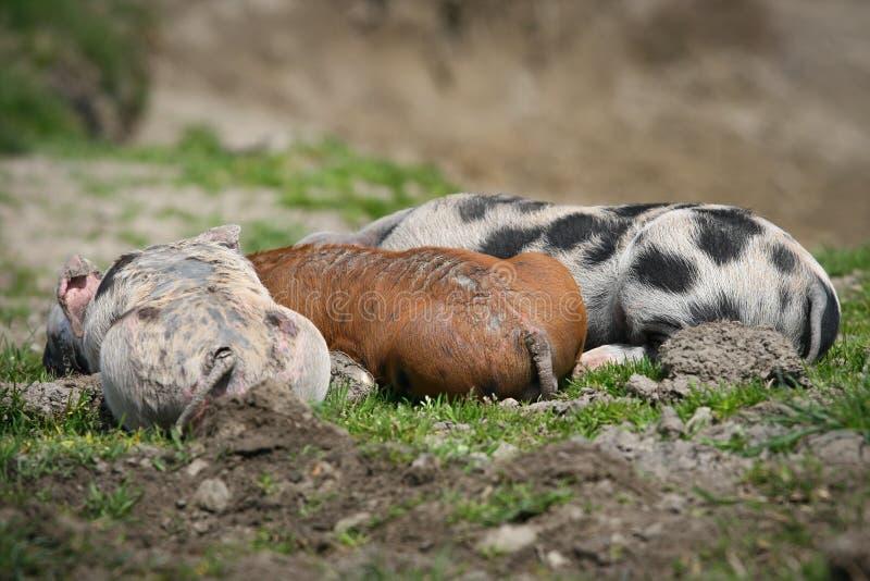 Colorfull pigs fotografering för bildbyråer