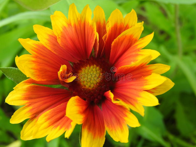Colorfully flower. In yellow and orange shade royalty free stock image
