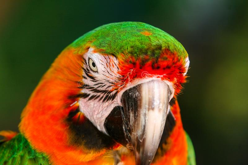 Colorfully plumed Ara parrot closeup. Portrait of the colorfully plumed Ara parrot in the natural environment stock photo