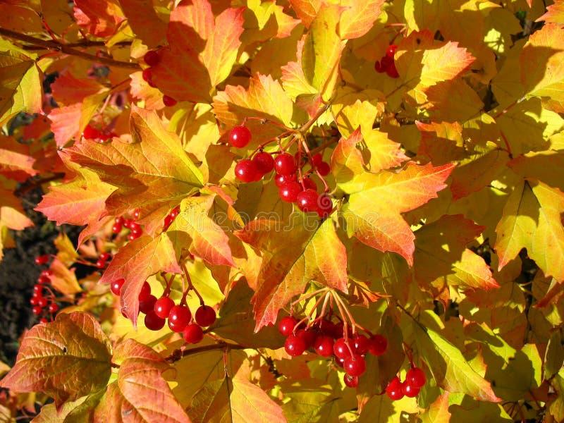 Colori dell 39 autunno foglie giallo rosse del viburno - Immagine del mouse a colori ...