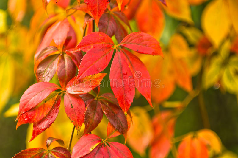 Colori dell 39 autunno sulle foglie arancio e di rosso di - Immagine dell albero a colori ...