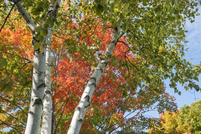 Colori della foglia di autunno sulla betulla d'argento fotografia stock libera da diritti