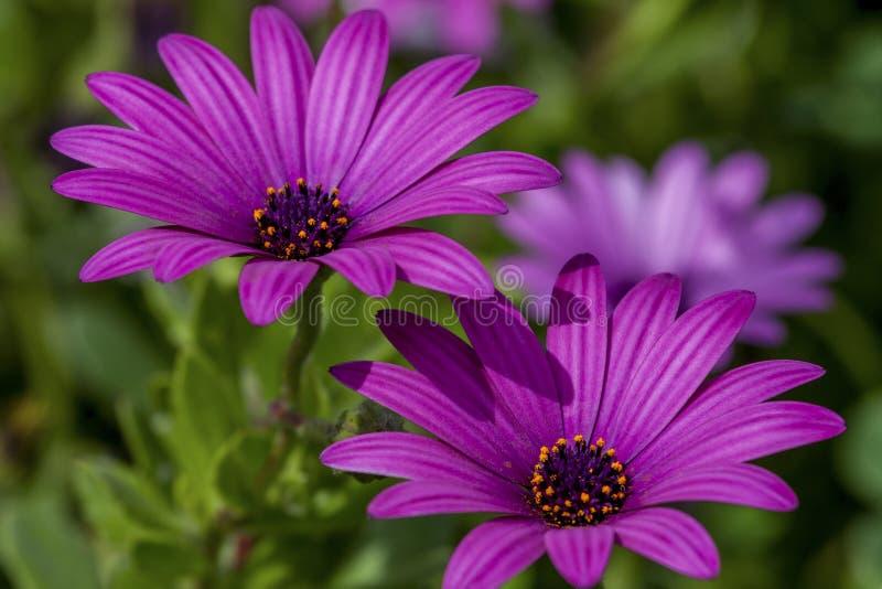 Colori della primavera del fiore rosa nel giardino immagini stock