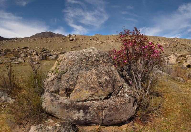 Colori della primavera delle steppe di pietra delle montagne di Altai fotografia stock libera da diritti
