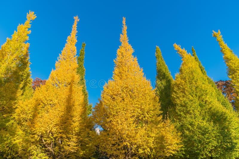 Colori di autunno dell 39 albero del ginkgo fotografia stock - Immagine dell albero a colori ...