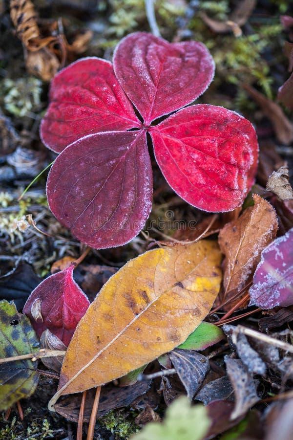 Colori di caduta - Bunchberry ancora vita fotografia stock